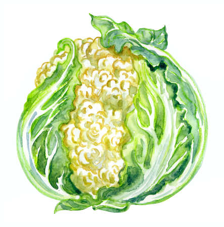 Cauliflower (Brassica oleracea L. var. Botrytis L.) watercolor illustration on white background, print for botanical and culinary illustrations and other designs. 免版税图像