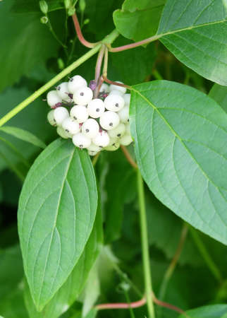 Dogwood (Córnus álba), white berries on a branch, macro photography, in-frame focus, blurred background.