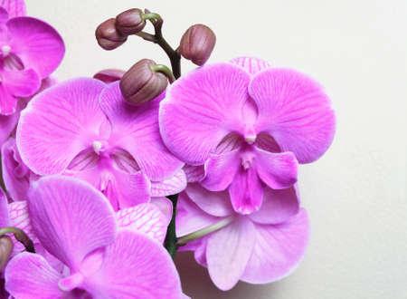 Violet-pink orchid Phalaenopsis Big Lip, Miki Dancer cultivar, macro photography, selective focus, horizontal orientation. Standard-Bild