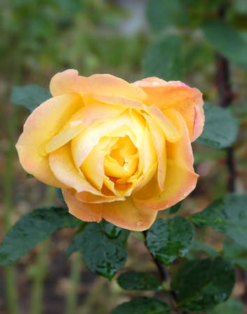 Yellow rose on a flowerbed in raindrops, macro photo, selective focus, vertical orientation.