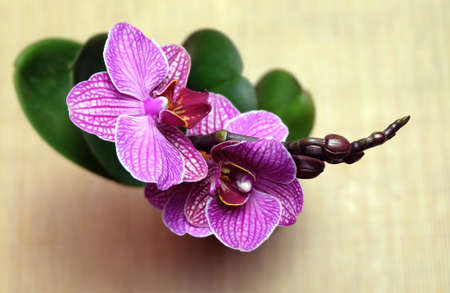 Pink-purple Phalaenopsis orchid with striped petals in a pot, top view, selective focus, horizontal orientation.