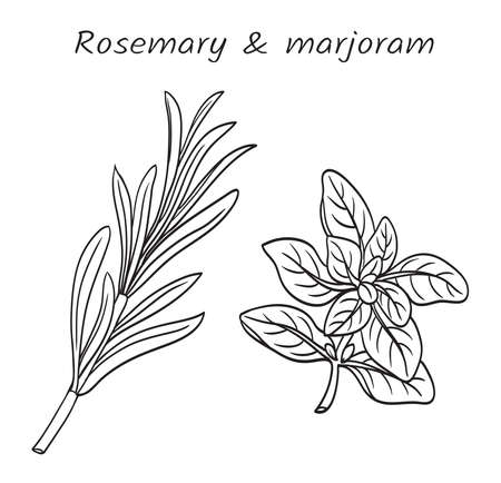 Sprigs of rosemary (Rosmarínus officinális) and marjoram (Orīganum majorāna), vector black and white. Plants are used in the culinary and cosmetic industries.