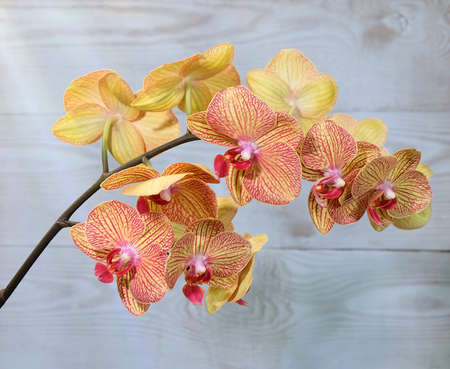 Phalaenopsis orchid with yellow flowers with a red lip and venation, KV beauty variety, selective focus, horizontal orientation.
