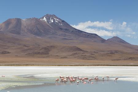 avaroa: Photograph of flamingos on Laguna Hedionda in national park Eduardo Avaroa in the South West of Bolivia.