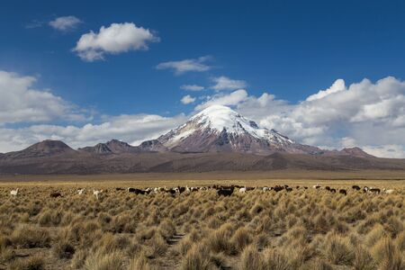 sajama: Photograph of the highest mountain in Bolivia Mount Sajama with a group of lamass and alpacas in front.