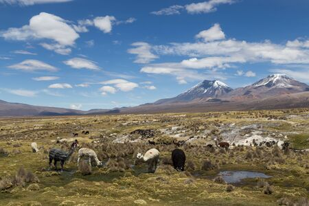 sajama: Photograph of a group of lamas and alpacas in Sajama National Park, Bolivia.