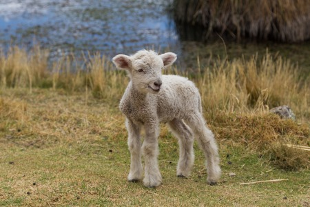 bleating: Photograph of a new born lamb standing. Stock Photo