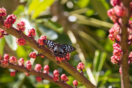 dunk: Photograph of a blue spotted butterfly on Dunk Island in Queensland, Australia. Stock Photo