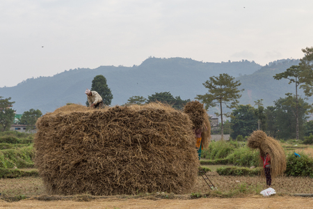 putting up: Pokhara, Nepal - November 14, 2014: Photograph of Nepalese peasants harvesting a field and putting up straw piles.