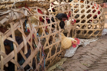 chicken cage: Nepalese Chicken sticking its head out of a wooden cage. Stock Photo