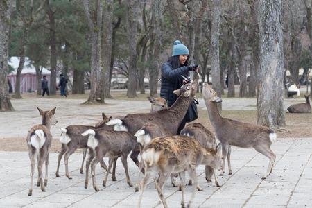 tame: Nara, Japan - December 28, 2014: Visitor feeding tame wild deer in Nara Park.