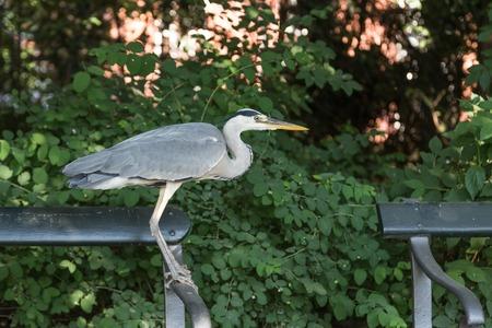 Grey Heron sitting on a bench in Frederiksberg Park in Denmark Stock Photo