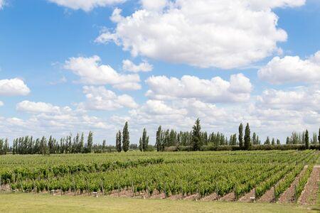 Beautiful green vineyard in Mendoza Region in Argentina