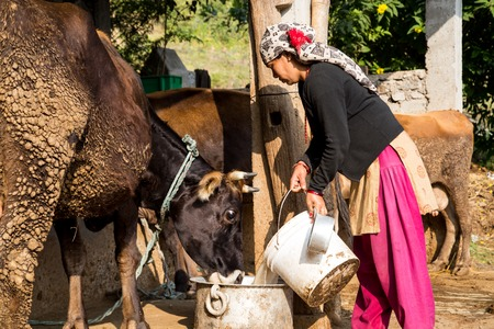 pokhara: Pokhara, Nepal - November 21, 2014: A nepalese woman in a traditional dress feeding a cow on a rural farm
