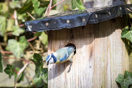 Blue tit at a birdhouse Stock Photo
