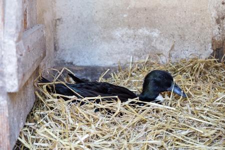 Black Swedish Duck