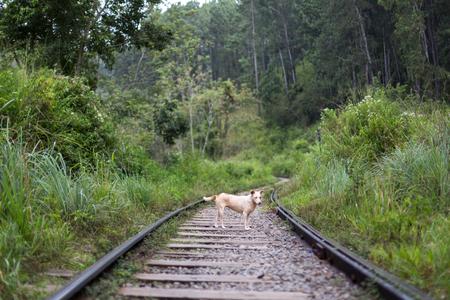 A dog standing on train tracks in Ella, Sri Lanka