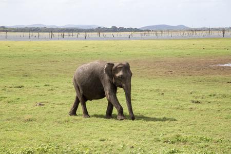 Baby Elephant in Kaudulla National Park, Sri Lanka