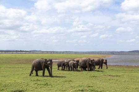 Herd of elephants in Kaudulla National Park, Sri Lanka