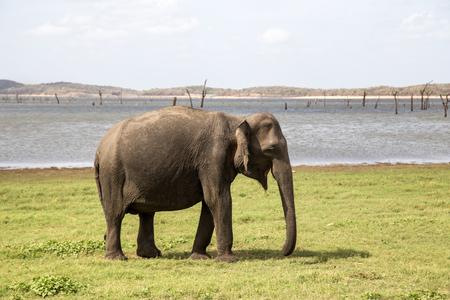 Elephant in Kaudulla National Park, Sri Lanka Stock Photo