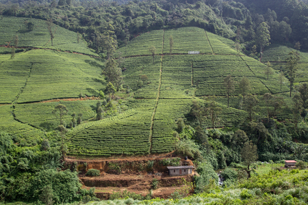 Edinburgh tea plantation in Nuwara Eliya, Sri Lanka