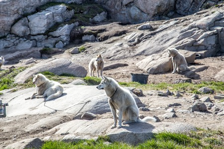 Sled dogs chained to the ground. Around 3,500 sled dogs live in Ilulissat.