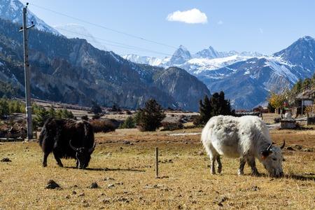 Annapurna Area, Nepal - October 28, 2014: Grazing yaks on the Annapurna Circuit in Nepal