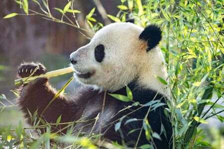 A panda eating bambus in the outdoor area