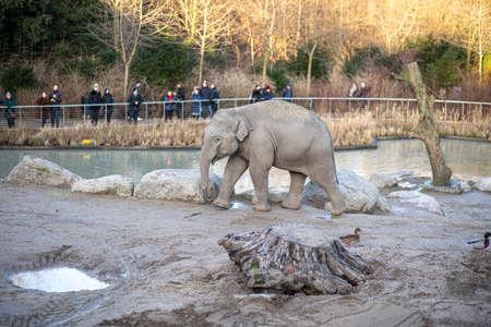 Copenhagen, Denmark - January 04, 2020: An elephany in the outdoor area in Copenhagen Zoo