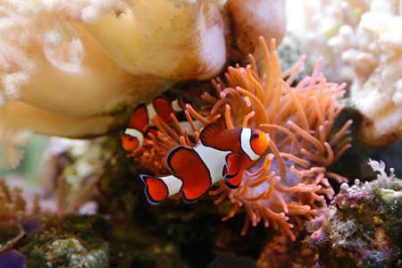 salt water fish: cute clownfish