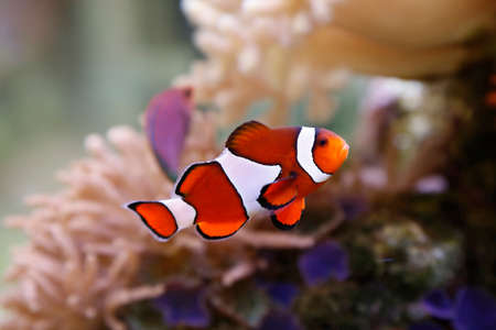 clown fish: cute clownfish