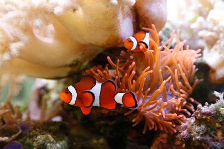 pez payaso: pez payaso lindo