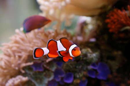 peces payaso: pez payaso lindo