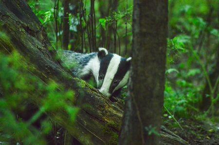 A Foraging Badger