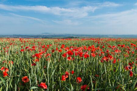 poppy field: Dorset Poppy Field bij zonsondergang