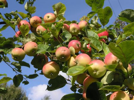 rubicund: apple-tree branch with lots of ruddy apples        Stock Photo