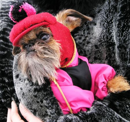little brown dog dressed in pink-and-black jacket and funny cap with a pompon in his owner`s  bosom