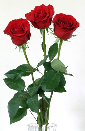 veneration: three scarlet roses in a vase against white background