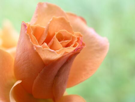 roseleaf: rose