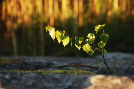 little sprout of a birch-tree in the golden sunshine                                     photo