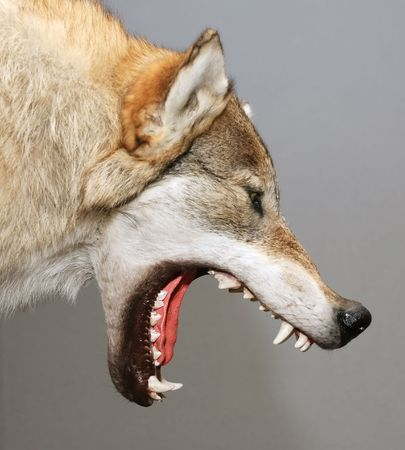 gray wolf: stuffed wolf head with open mouth against gray background
