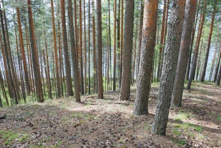 pine wood                                     Stock Photo - 3482489