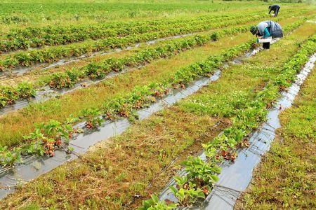 seasonal workers gather strawberries in the field photo