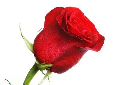 romantics: beautiful fresh scarlet rose bud against white background