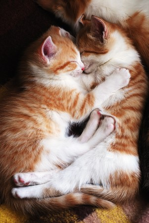 cuddles: two sleeping kittens hug one another