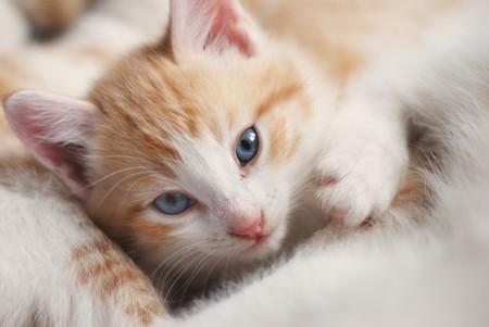 sweetly: sweet kitty look at camera, close-up face