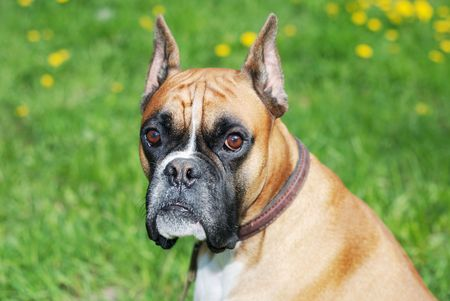 perro boxer: perro mirar la cámara contra el fondo verde