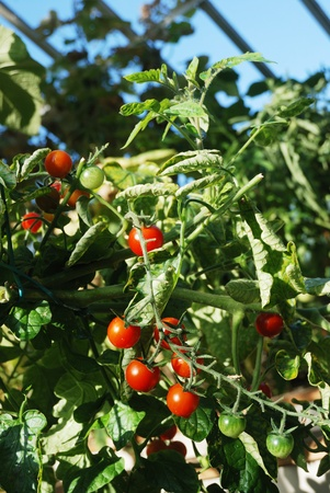 bright red tomatoes grow on vines in a greenhouse