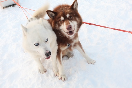 two siberian huskies pulling a sled, horizontal
