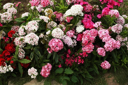 carnations, a lot of beautiful blooming flowers in the garden Stock Photo